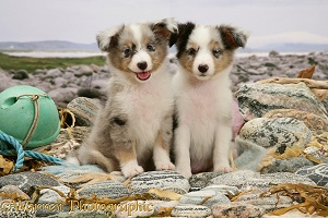 Sheltie pups on a beach