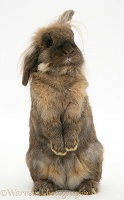 Lionhead rabbit sitting up