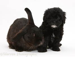 Black Pooshi (Poodle x Shih-Tzu) pup with black rabbit