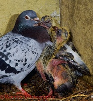 Domestic pigeon with squabs