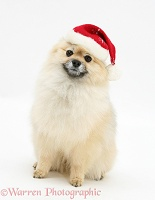 Pomeranian dog wearing a Santa hat