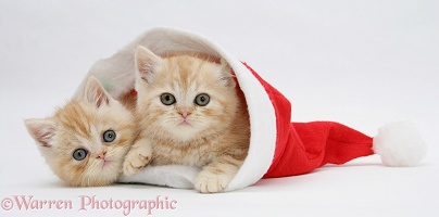 Ginger kittens in a Santa hat