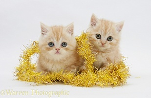 Ginger kittens with yellow tinsel