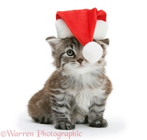 Maine Coon kitten wearing a Santa hat