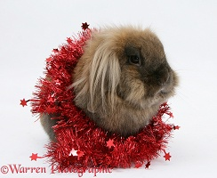 Lionhead rabbit with red Christmas tinsel