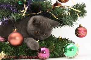 Grey kitten playing with baubles under a Christmas tree