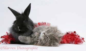Maine Coon kitten and black rabbit with red tinsel
