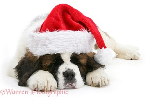 Saint Bernard puppy asleep wearing a Santa hat
