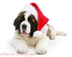 Saint Bernard puppy wearing a Santa hat