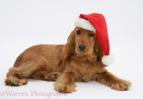 Red Cocker Spaniel wearing a Santa hat