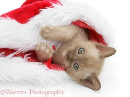 Burmese kitten in a Santa hat