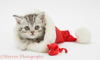 Tabby kitten in a Santa hat