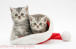 Tabby kittens in a Santa hat
