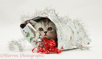 Silver tabby kitten coming out of a Christmas parcel