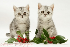Silver tabby kittens with holly leaves and berries