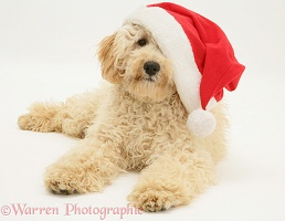 Cream Poodle wearing a Santa hat