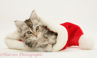 Tabby Maine Coon kitten in a Santa hat