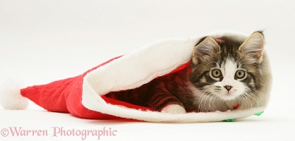 Maine Coon kitten, 8 weeks old, in a Santa hat