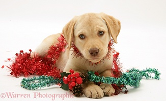 Yellow Labrador Retriever pup with Christmas tinsel