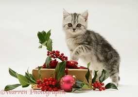 Silver tabby kitten with holly and Christmas parcel