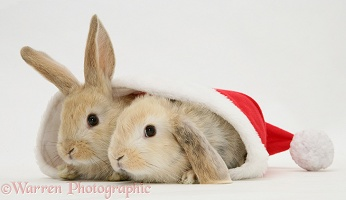 Two rabbits in a Santa hat