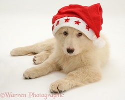 White Alsatian pup wearing a Santa hat