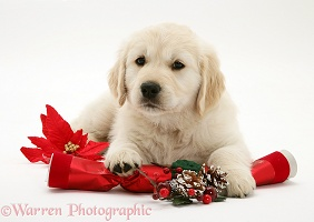 Golden Retriever pup with Christmas cracker