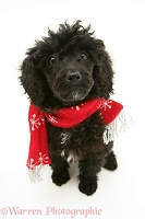 Black Miniature Poodle wearing a red scarf