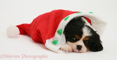 Sleepy King Charles puppy in a Santa hat