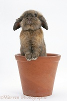 Lionhead-cross rabbit in a flowerpot