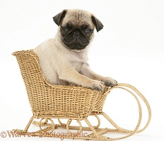 Fawn Pug pup in a wicker toy sledge