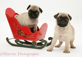 Fawn Pug pups with a wooden toy sledge