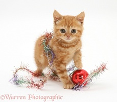 Red tabby British Shorthair kitten with tinsel and a bauble