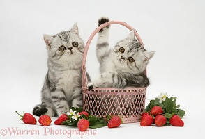 Exotic kittens with pink wicker basket and strawberries