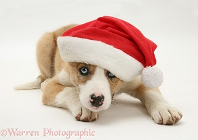 Border Collie pup wearing a Santa hat