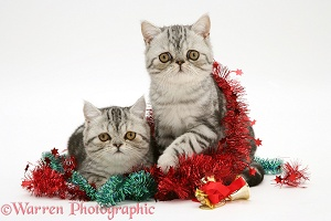 Silver tabby Exotic kittens with Christmas tinsel and bells