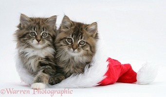 Maine Coon kittens, 8 weeks old, in a Santa hat