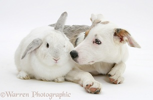 Border Collie-cross pup with a white rabbit