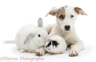 Border Collie-cross pup with a rabbit and guinea pig