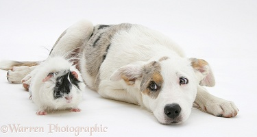 Border Collie-cross pup with a guinea pig