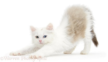 Birman x Ragdoll kitten stretching
