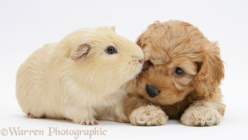 Golden Cockapoo pup with a Guinea pig
