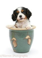 King Charles pup in a plant pot