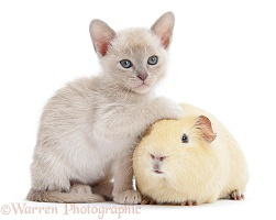 Burmese kitten, 7 weeks old, and yellow guinea pig