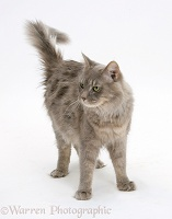 Maine Coon cat standing