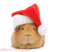 Red guinea pig wearing a Santa hat