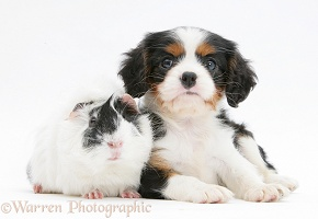 King Charles pup with black-and-white guinea pig