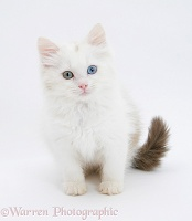 Birman x Ragdoll kitten sitting