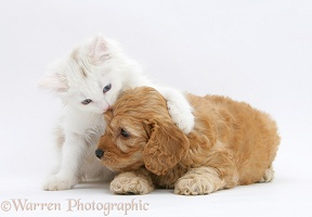 Birman x Ragdoll kitten with Golden Cockapoo pup