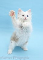 Birman x Ragdoll kitten standing with paws reaching out
